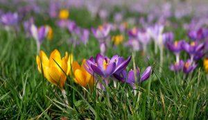 krookus, kukka, kevät, pääsiäinen